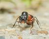 Carpenter Ant Queen 5 (strjustin) Tags: carpenterantqueen antqueen queen ant insect anthropod bug macro