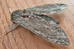 1972-P1120401 Convolvulus Hawk-moth (Agrius convolvuli) (ajmatthehiddenhouse) Tags: stmargaretsatcliffe kent uk 2016 garden moth sphingidae agrius convolvuli agriusconvolvuli convolvulushawkmoth