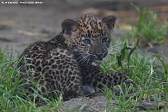Sri Lanka Panther cub - Best Zoo (Mandenno photography) Tags: dierenpark dierentuin dieren animal animals sri lanka leopard leopardcub bigcat big cat cub ngc nederland netherlands nature
