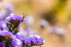 Thinking Back to Summer (George Plakides) Tags: bokeh argaka bee