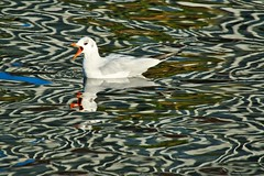 Mouette rieuse - Montpellier (Marc ALMECIJA) Tags: oiseau bird water eau aqua reflets reflections reflet aves vogel mouette rieuse nature natur outside outdoor montpellier hérault amateur sony rx10m3 wildlife
