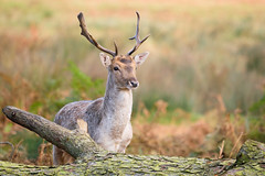 Fallow (Susanne Leyh) Tags: deer fallowdeer fallow stag nature wildlife fauna animal mammal outside park richmondpark autumn damhirsch buck