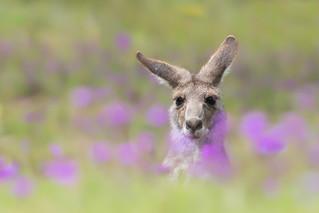 Eastern Grey Kangaroo (Macropus giganteus), Inverell
