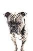 Aramis THE BULLDOG (!ProPixel!) Tags: aramis bulldog hund dogge haustier oeb old english bokeh explore pet wow shot high key highkey sony 85mm 14 a7mll valimex walimex pro light beauty