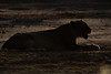 DSC_2658.jpg (Mike/Claire) Tags: lioness 2016 southafrica tandatula timbavati