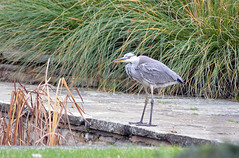 Young Grey Heron (Caulker) Tags: canons park bird heron pond november 2017