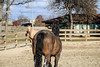 IMG_7284 (Tyler Ochs Photography) Tags: horses horse halter