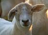 Cauflower Ear (baalands) Tags: katahdin hair sheep ewe ear mule hampshire suffolk