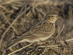 Skylark 30/11/17. (johnatkins2008) Tags: skylark countryside birds wildlife photography meadow grassland frampton marsh johnatkins2008