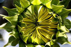 20171205_0895_7D2-100 Developing Sunflower (339/365) [Explored]