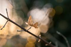 bathed in light (Emma Varley) Tags: leaf winter sunset orange warm bokeh glow light nature