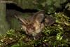 Brown Long-eared Bat, Plecotus auritus (Midlands Reptiles & British Wildlife Diaries) Tags: brown longeared bat plecotus auritus david nixon faunaforest ecology peak district country park mammal bats canon 60mm macro flight echolocation echolocating