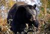Black Bear prowl.. (mickb6265) Tags: woburn woburnsafaripark gamereserve bedfordshire uk blackbear