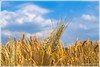 In the summer time (günter mengedoth) Tags: korn gerste brot landwirtschaft feld ernte sommer himmel wolken