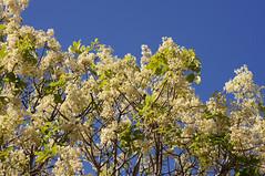 Flindersia australis (Tatters ✾) Tags: australia floweringtree flindersia whitearfflowers whiteflowers rutaceae flindersiaaustralis qrfp crowash australianteak arfp nswrfp dryarf subtropicalarf vinethicketarf arfflowers