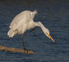 Aaaaawwwww.......... (kikapookid) Tags: 2017 animalia arroyolaguna bird california egret great hwy1 location sanluisobispoco usa wadingbird