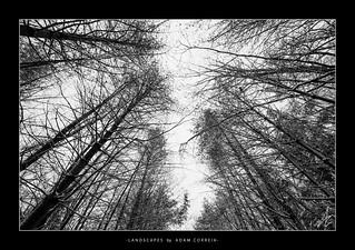 KP Trail Pines