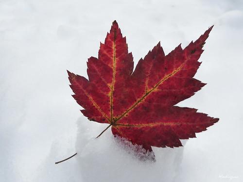 Red Maple Leaf - Feuille d'érable rouge