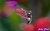 BEE ON FLOWER (Sven Dost) Tags: raw bee beautiful flower black white rosa lila green makro macro holiday summer winter spring nikon d5100 sigma 105mm sirui blume