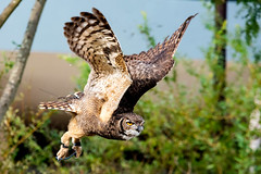 Eagle owl flying (Dakiny) Tags: 2017 autumn october japan kanagawa yokohama asahiward park city street outdoor zoo yokohamazoologicalgardens zoorasia creature animal bird nikon d750 sigma apo 70200mm f28 apo70200mmf28exdgoshsm sigmaapo70200mmf28exdgoshsm nikonclubit