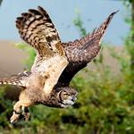 Eagle owl flying thumbnail