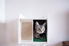 _DSC0957 (catfish.boogie) Tags: nikond750 tamronsp35mmf18divcusd japan hokkaido sapporo cat