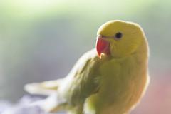 Big Baby (S♡C) Tags: parrot indianringneckparrot