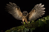Mottled Owl (Ciccaba virgata) landing on a branch at night (Chris Jimenez Nature Photo) Tags: vegetation night wings owl action centralamerica chrisjimenez land frontview fly wide costarica strixvirgata ofprey mottledowl tropics tropical leastconcern flight open dark bird ciccabavirgata branch oneanimal landing raptor noctural fulllength