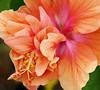 Double Hibiscus (vbd) Tags: pentax k200d vbd smcpentaxda55300mmf458ed ny newyork longisland flower orange shelterharbor peach pink pistil handheld 2013 summer2013 petals pollen stamen