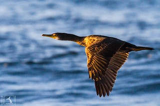 Lever de cormoran