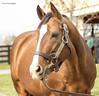 Nobile Mission (GB) (Casey Laughter Media) Tags: stallion racehorse stud studfarm farm lanesend lexington kentucky breeding winner frankel noblemission galileo