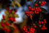 _MG_2743.CR2 (jalexartis) Tags: pyracantha firethornpyracantha shrubbery shrub berries berry lighting camranger