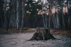 Старый лес / Old forest (spoilt.exile) Tags: украина киев лесное лес пень бокэ закат деревья небо фактура ukraine kyiv kiev lisova forest bokeh sunset trees sky texture vintage stump