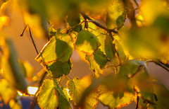 IMG_6378 (bolex.ua) Tags: autumn colors yellow leaves november kyiv ukraine nature