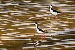 Black Tie Affair (Life of David) Tags: california losangelesriver usa wildlife bird blacktie nature world100f