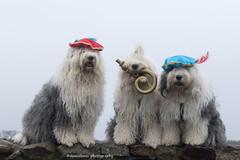 """ready for """"Sinterklaas"""" (dewollewei) Tags: oldenglishsheepdog oldenglishsheepdogs old english sheepdog oes bobtail dewollewei sophieensarah sophieandsarah sinterklaas scarlett zwartepiet"""