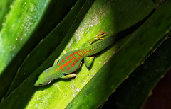Peacock (LeftCoastKenny) Tags: madagascar day7 ranomafananationalpark gecko leaves