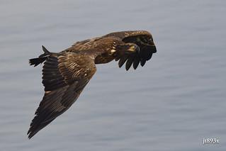 Juvenile Bald Eagle with a fish