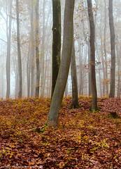 Late autumn in the forest. (andreasheinrich) Tags: landscape forest trees fog morning autumn november foggy cold germany badenwürttemberg neckarsulm dahenfeld deutschland landschaft wald bäume nebel morgen herbst neblig kalt nikond7000