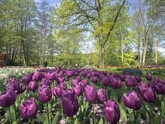 Keukenhof, South Holland (Of Light & Lenses) Tags: keukenhof holland tulips blumen tulpen rosa olympus park niederlande frühjahr beautyfultulips