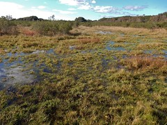 scene freshwater wetland Currituck NWR ncwetlands KG (21) (ncwetlands.org) Tags: northcarolina freshwaterwetland brackishmarsh curritucksound ncwetland ncwetlands barrierisland wildliferefuge
