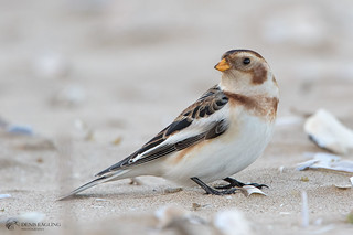 Snow bunting - male