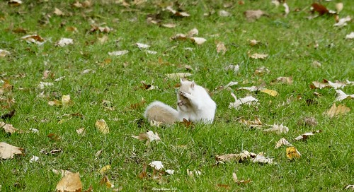 """camera shy white squirrel • <a style=""""font-size:0.8em;"""" href=""""http://www.flickr.com/photos/52364684@N03/38090579842/"""" target=""""_blank"""">View on Flickr</a>"""