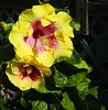 Hibiscus (LarryJay99 ) Tags: hibiscus flowers blooms greenery floridabeaches nature yellow yellows