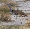 Kori Bustard (Ardeotis kori) (wmckenziephotography) Tags: bigbirds birdsofnamibia etosha etoshabirds etoshanationalpark koribustard namibia
