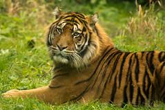 Sumatraanse tijger - Sumatran tiger (Den Batter) Tags: nikon d7200 blijdorp dierentuin zoo sumatraansetijger sumatrantiger pantheratigrissumatrae