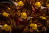 Bulbophyllum careyanum (betadecay2000) Tags: flower weis pink rosa epiphyt epipyten tropen tropisch pflanze plant aufsitzerpflanze orchidee blume harveyanum orchid orchieen regenwald botanik botanisch orkidea orhidee орхидеи orchidée 蘭花 রাস্না խոլորձ 난초 orchidej خصي orkideo orhideja सुनगाभा オーキッド กล้วยไม้ סחלב orquídea anggrek orchidea ορχιδέα orkide אָרכידייע орхидея आर्किड outdoor schwarzer hintergrund tier fotorahmen bulbophyllum careyanum pflanzen hell textur schärfentiefe muster organisches