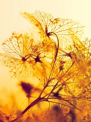 May to December (fstop186) Tags: maytodecember septembersong hydrangea autumn skeleton leaves winter art poster postcard gold nature sunset lace mopcap deadflower head lines curves shadows bokeh olympused60mmf28macro