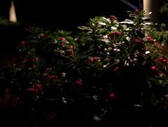 _MG_2871.CR2 (jalexartis) Tags: vinca bloom blooms flower flowers night nightphotography nightshots lighting camranger rain raincover diy