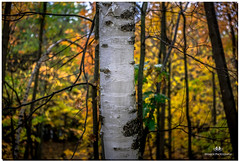 OCTOBER 2017  NGM_6165_2713-222 (Nick and Karen Munroe) Tags: beauty brampton beautiful brilliant birchtree birch whitebirch paperbirch trees tree yellow golden gold canada colour color colors colours closeup ontario outdoors ontariocanada heartlakeconservationarea hike heartlake heartlakeconservation conservation conservationareas nikon nickmunroe nickandkarenmunroe nature nikon2470f28 nickandkaren nick nikond750 2470f28 2470 munroedesignsphotography munroedesigns munroephotography munroe karenick23 karenick karenandnickmunroe karenmunroe karenandnick karen landscape leaves leaf woods fall fallcolors fallsplendor foliage autumn forest forests